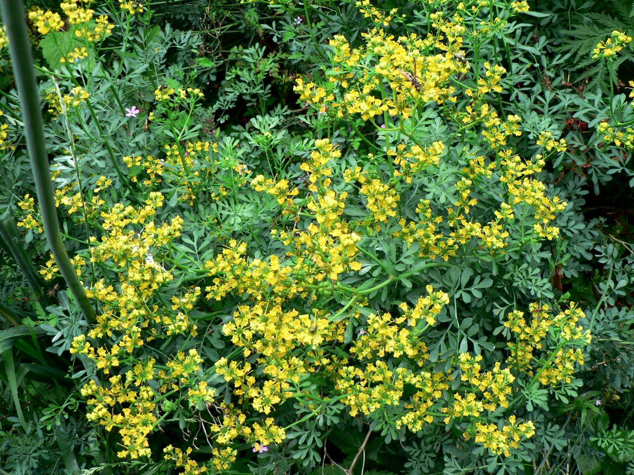 plante cedricneau